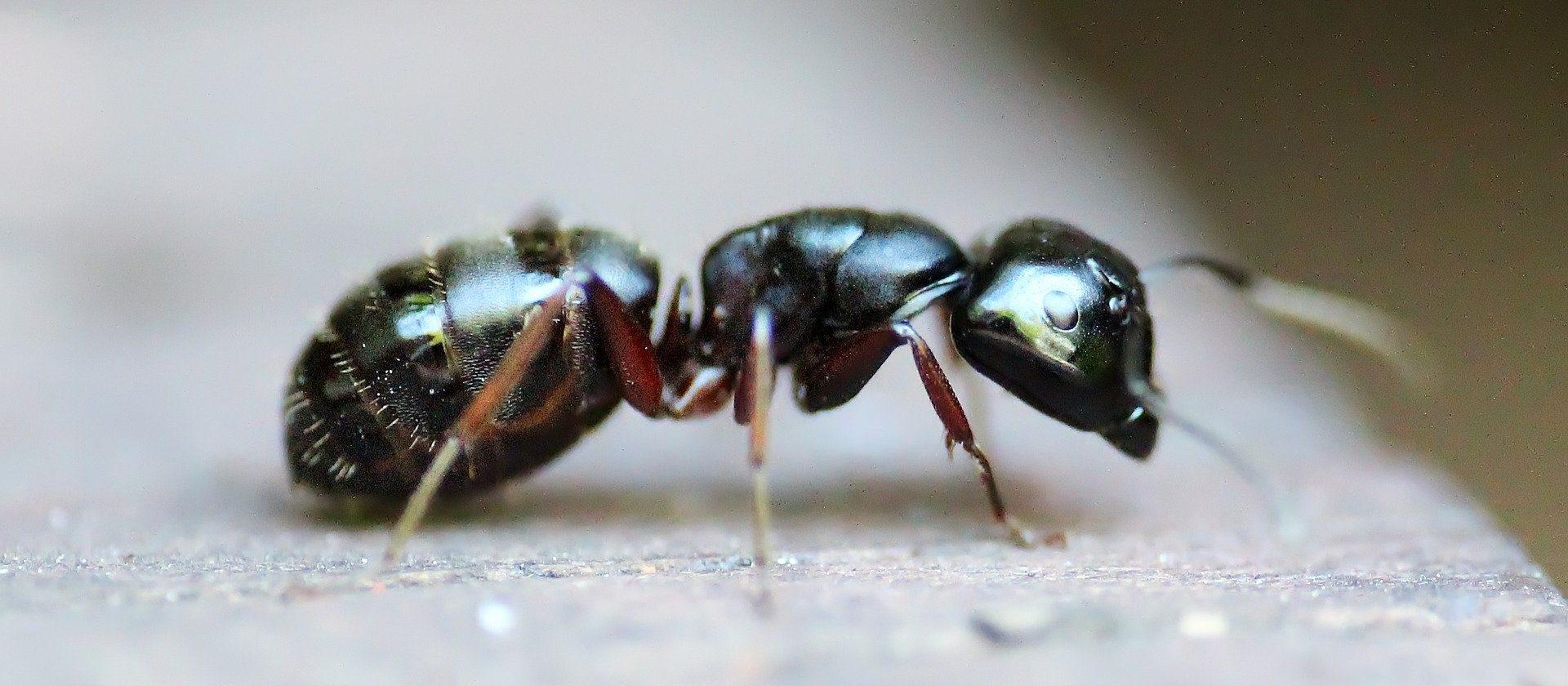 Ameisen Eier