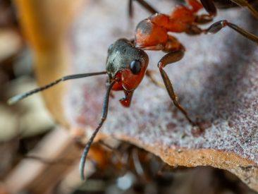 Ameisen als Haustier
