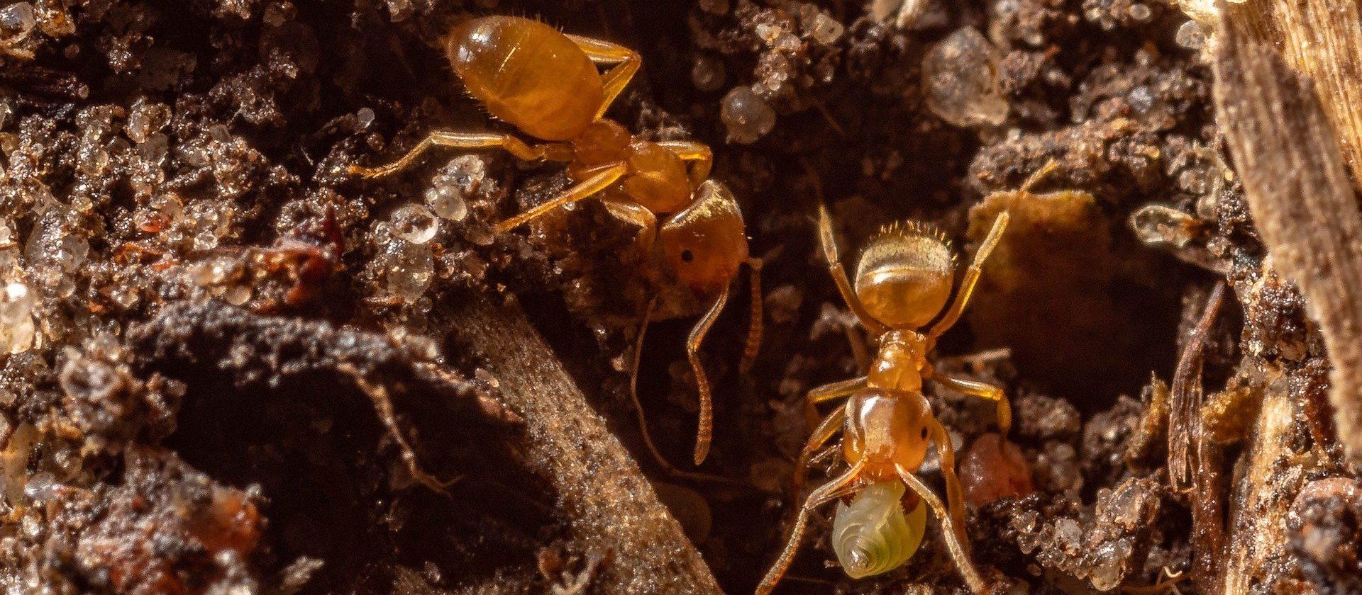 Ameisen Formicarium